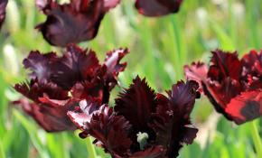 Советы по выращиванию тюльпанов Блэк Пэррот