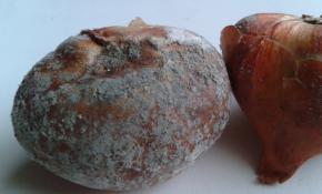 Причины и лечение плесени на луковицах тюльпанов