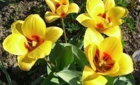 Правила посадки и ухода за ботаническими тюльпанами
