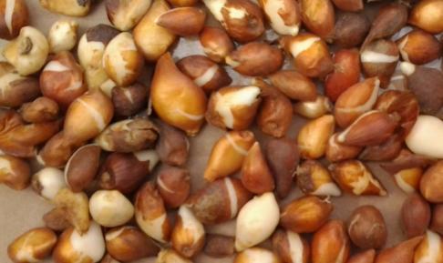 Луковицы, выращенные из семян