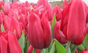 Техника выращивания тюльпанов Стронг Лав
