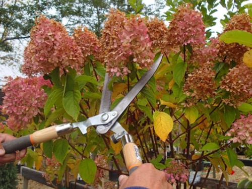 Осенняя обрезка метельчатой гортензии