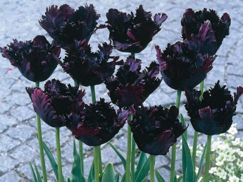Тюльпан Черный попугай в саду