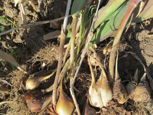 Процесс выкапывания тюльпанов