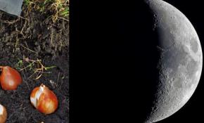 Сроки посадки тюльпанов по лунному календарю