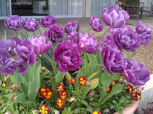 Тюльпан Блю Даймонд в вазоне