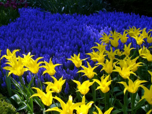 Тюльпаны и гадючий лук