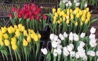 Сроки и правила выгонки тюльпанов