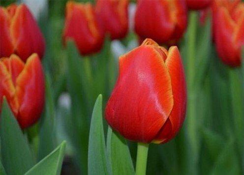 Бутон тюльпанов Веранди