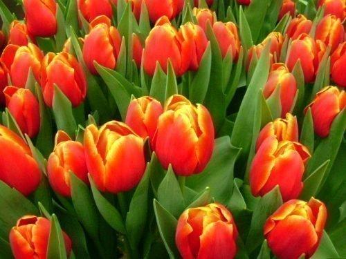 Сорт тюльпаны Веранди