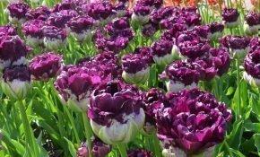 Как выращивать тюльпаны Блю Вау
