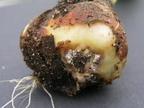 болезни тюльпанов