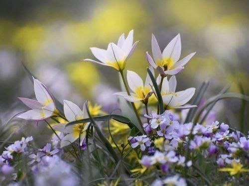 Двухцветковые тюльпаны в степи