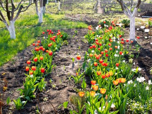 чем подкармливать тюльпаны весной