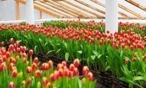 Технология выгонки тюльпанов в домашних условиях к 8 марта