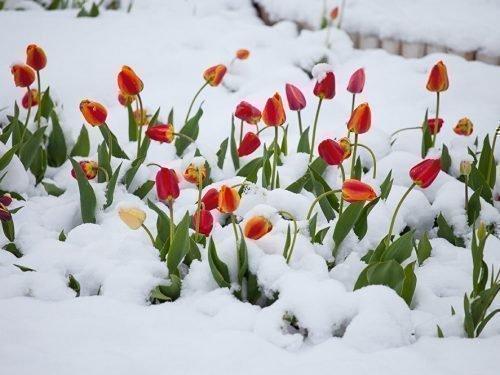 если подмерзли тюльпаны