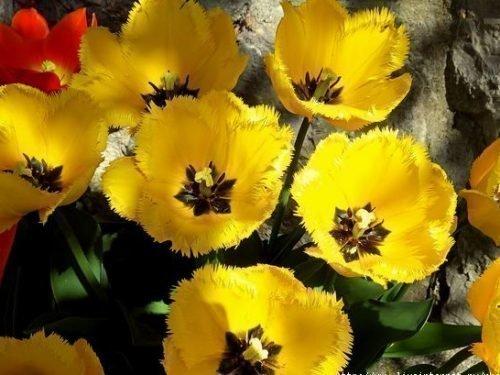 Цветение тюльпана Кристал стар