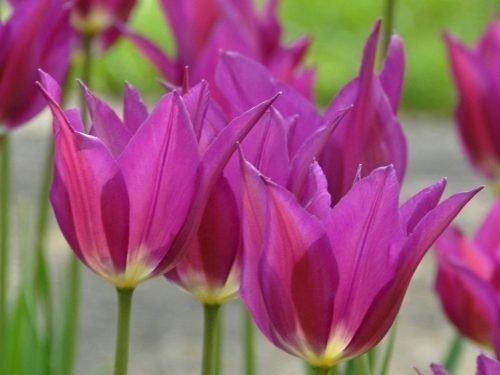 Тюльпан Purple Dream