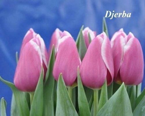 Тюльпан Djerba