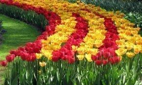 Правила выращивания голландских тюльпанов