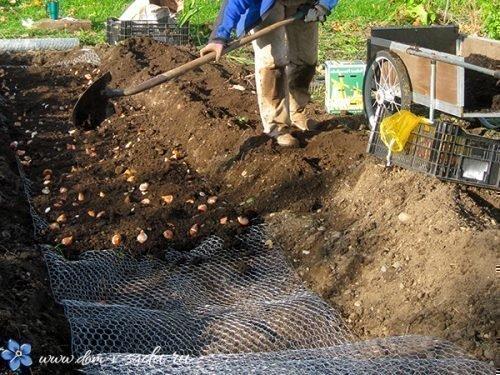 Защитная сетка для тюльпанов