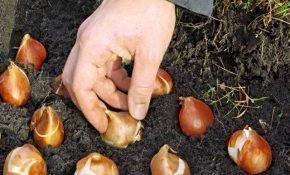 Период высадки тюльпанов осенью в Подмосковье