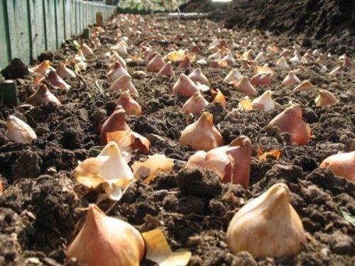 Схема высадки тюльпанов