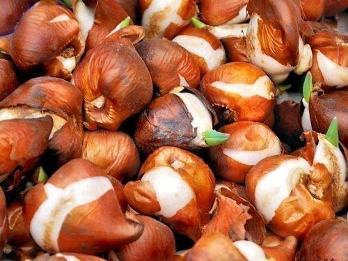 Луковицы для выгонки