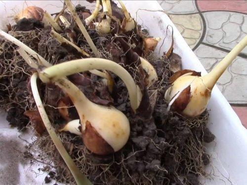 Выкопанный куст тюльпана
