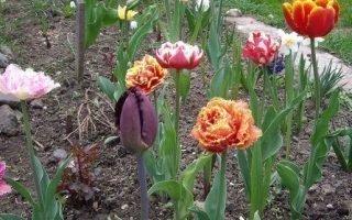 Советы по посадке тюльпанов на Урале осенью