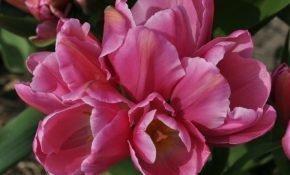 Топ-5 сортов многоцветковых тюльпанов