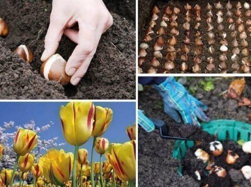 на какую глубину сажать тюльпаны осенью