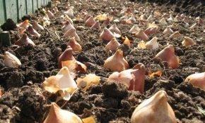 Как глубоко сажать луковицы тюльпанов осенью