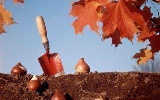 Правила посадки и полива тюльпанов осенью