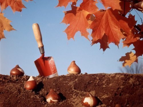 нужно ли поливать тюльпаны при посадке осенью