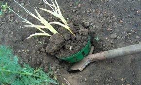 Когда и как правильно выкапывать луковицы тюльпанов