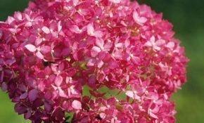 Агротехника для пышного цветения гортензии Пинк Аннабель