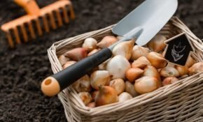 Сроки высадки тюльпанов осенью