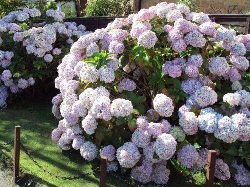 после посадки на какой год цветет гортензия