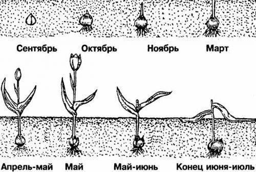 Развитие тюльпанов