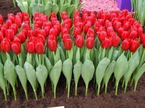 Выгонка тюльпанов Стронг Лав