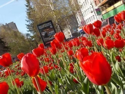 Тюльпаны на улицах Перми