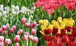 Как долго могут цвести тюльпаны