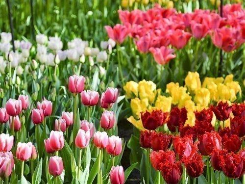 сколько цветут тюльпаны