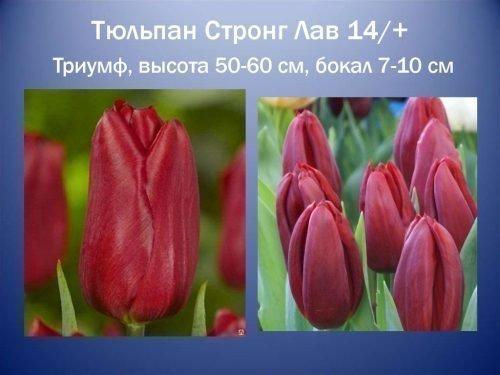 Тюльпаны Стронг Лав и Стронг Голд описание