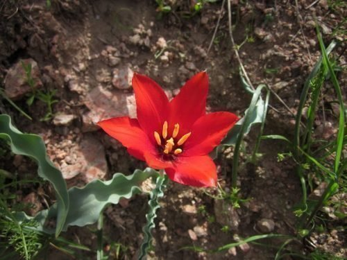 Тюльпан Чимганский