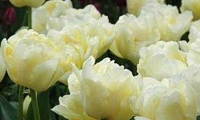 Как вырастить на своем участке тюльпаны Верона
