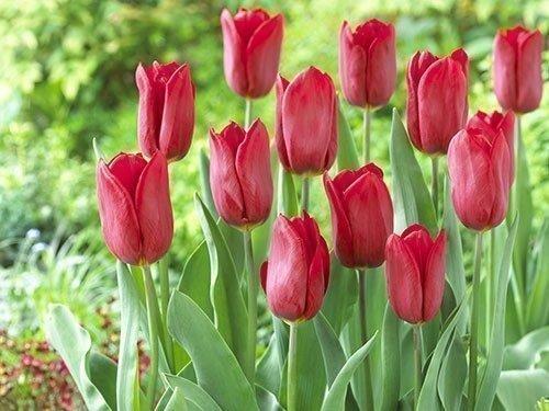 Тюльпаны Стронг лав в саду