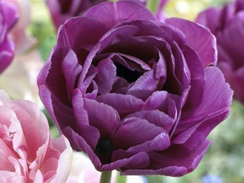 Тюльпан Блю Даймонд - бутон