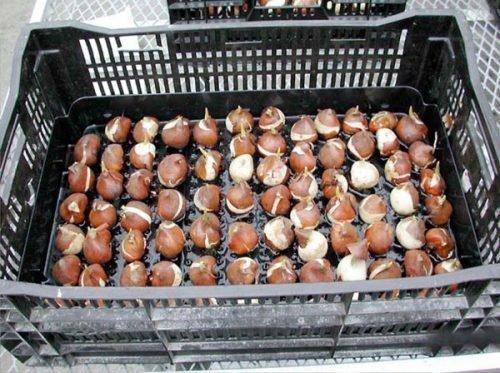 Посадка в ящики луковиц тюльпанов